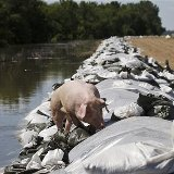 Pig on levee